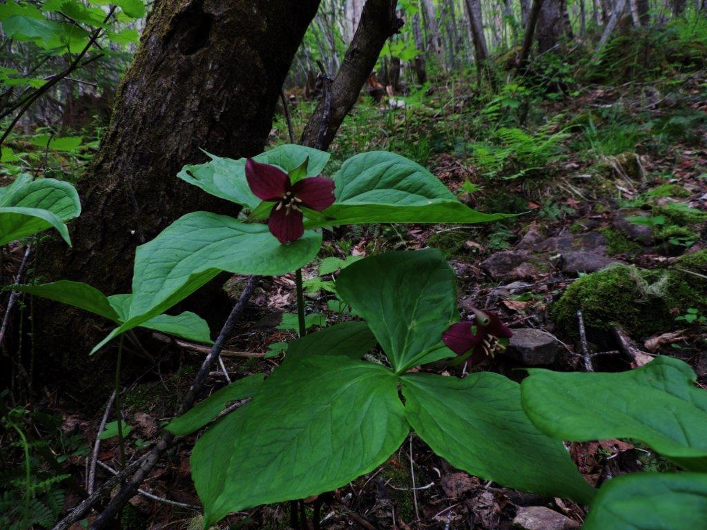 Purple trilliums on the trail